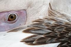 Pelikan-3