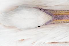 Pelikan-4