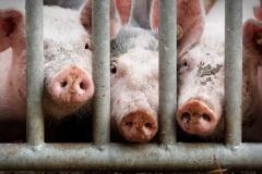 Die-drei-kleinen-Schweinchen